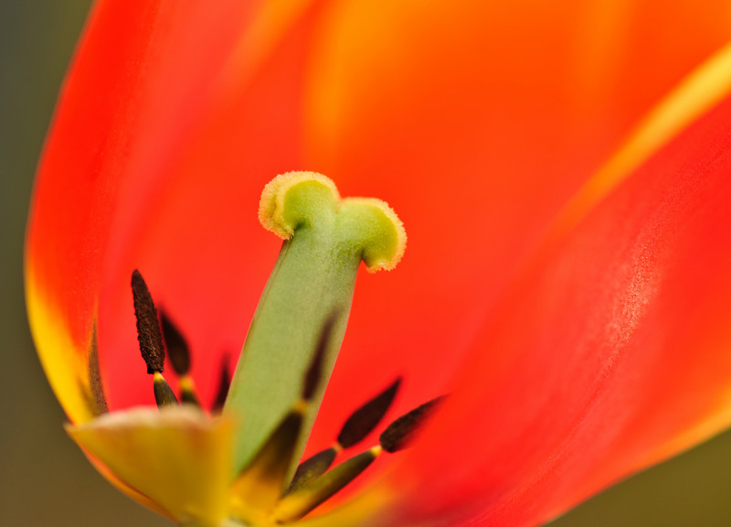 anatomy of a tulip, 3/19/2011