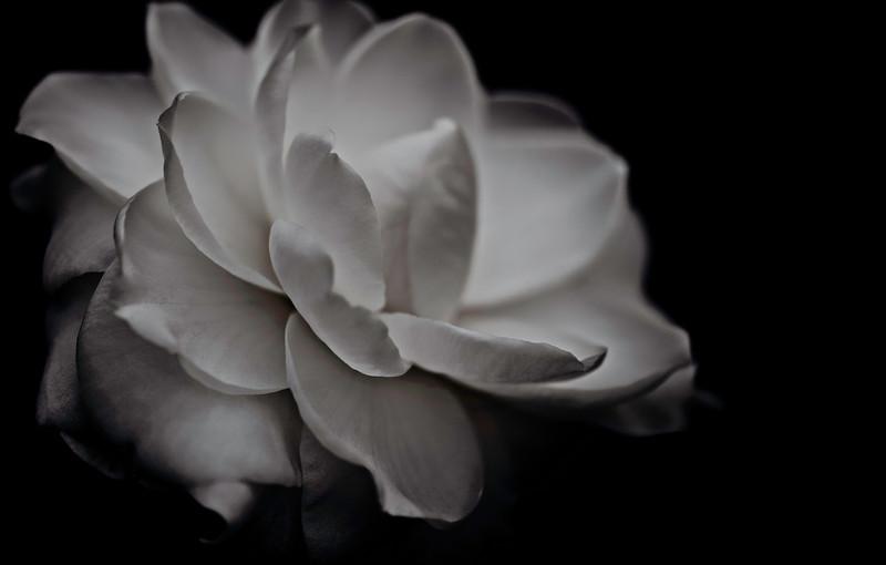 camellia, a dream in black & white