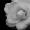 hybrid camellia, black & white