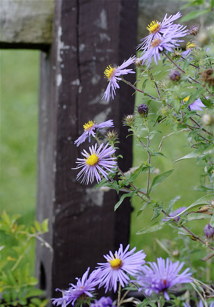ASTERS IN THE COUNTRY