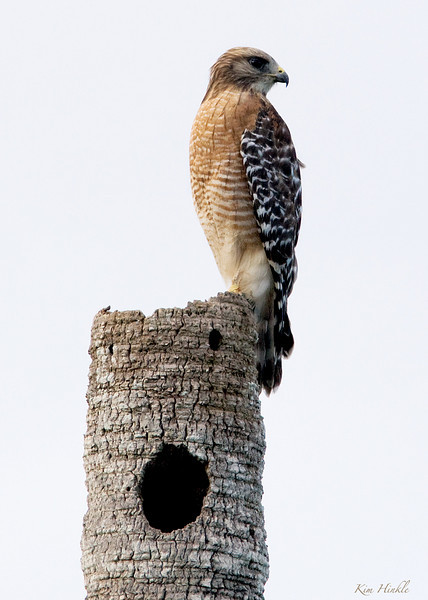 January 2<br /> <br /> RED SHOULDERED HAWK<br /> <br /> Red Shouldered Hawks are more pale and smaller in Florida than they are up here in Ohio.  This one was posing nicely on a palm stump on Merritt Island.<br /> <br /> PS...I got a painful shot in my elbow tendon today...can't move my arm without pain now.  They said it should be better tomorrow..HA!  That's because it's not THEIR ARM!!!  I am looking at a month of therapy and then it may come down to surgery to clean out the frayed pieces of tendons that could be causing all of this.  Typing one handed stinks...surgery would screw up my photography BIG TIME...<br /> Bah-Humbug!!! Am I grouchy yet?  :-)