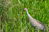 2/2/09<br /> <br /> SANDHILL CRANE<br /> <br /> Taken on a recent trip to Florida...I am just getting around to sorting all the photos out...Aren't they beauties? Hmmm, there's a drop of water on his beak too...a bonus not seen before now :-)