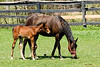 "April 25th<br /> <br /> THE WONDERS OF SPRING...<br /> <br /> More pictures of mom and foal here:   <a href=""http://mom4squirrels.smugmug.com/gallery/2481328#146908241"">http://mom4squirrels.smugmug.com/gallery/2481328#146908241</a><br /> <br /> <br /> <br /> <br /> <br /> SONG FOR SPRING<br /> <br /> It's almost here - It's safe to say<br /> I saw a Crocus yesterday<br /> Its' colors bright - A lovely thing<br /> My heart Rejoiced! 'Twil soon be Spring!<br /> <br /> The winter blues will soon be gone<br /> And birds will soon burst forth in song<br /> The coral bells will gently ring<br /> The Daphne yells ""It's almost Spring!""<br /> <br /> It's neary here! It's coming fast!<br /> The Robins will appear at last<br /> Oh Wonderous Joy! I too shall sing!<br /> And join in Nature's ""Song for Spring""<br /> <br /> M.Garren"