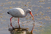 December 31<br /> <br /> WHITE IBIS<br /> <br /> HAPPY NEW YEAR EVERYONE!