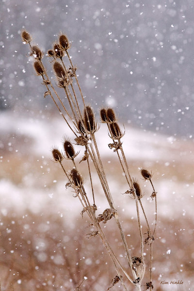 March 4th<br /> <br /> TEASELS IN A SNOWSTORM