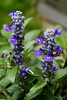 August 28th<br /> <br /> VICTORIA BLUE SALVIA