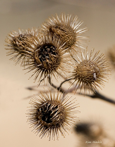 April 13th<br /> <br /> NATURE'S VELCRO<br /> <br /> Meet Common Burdock where the velcro inventors got their idea (and their millions). Dogs, cats and photographers alike curse the day they walked too close to this common field dweller.