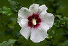 AUGUST 20TH<br /> <br /> <br /> ROSE OF SHARON