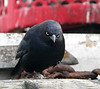 "October 29th<br /> <br /> ""SLOWLY I TURNED, STEP BY STEP, INCH BY INCH...""<br /> <br /> I hope most of you are old enough to know that quote..I believe it was the Three Stooges? (Niagra Falls?)  Well anyway, I think this grackle rivals the angry bluebird...I love it.  He was sitting on the dock in Monterey where our boat had just moored and I happened to have the camera in hand...lol"