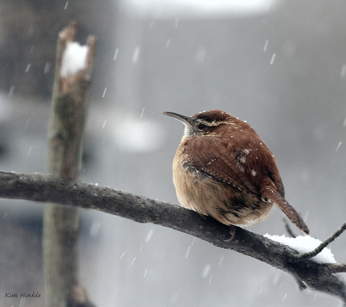 January 26th<br /> <br /> CAROLINA WREN<br /> <br /> We have a pair of male Carolina Wrens coming to our feeder each day now.  Today was awfully cold and snowy, but they were there eating suet and looking handsome.  (I have never had CWs in my yard like this before, but I dragged a discarded fir Christmas tree off a neighbor's tree lawn and laid it near the feeders...and in came the wrens :-D   )