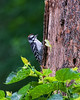June 11, 2009<br /> <br /> FLEDGLING DOWNY WOODPECKER<br /> <br /> The details are so much better in the XL size...if you care to look.  This image, captured in the rain, caused me to notice that the young birds have red on the crown instead of behind the head.  My guess is that the males grow those after the first molt.  Photography teaches me new things about nature everyday...Have a great weekend everyone!