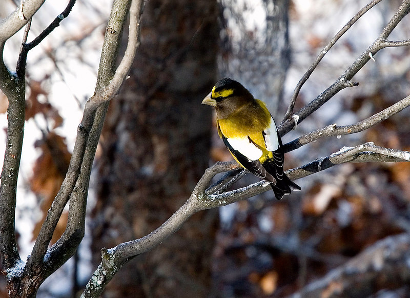 """January 21 Algonquin Series<br /> <br /> EVENING GROSBEAK<br /> <br /> We saw Evening Grosbeaks by the dozens feeding near the Visitor's Center in the park.  One was more beautiful than the next as they flit from branch to branch. Grosbeaks are big finches (8"""" L)..a little smaller than the Northern Cardinal (8.75"""" L) This is a colorful male in breeding plumage."""