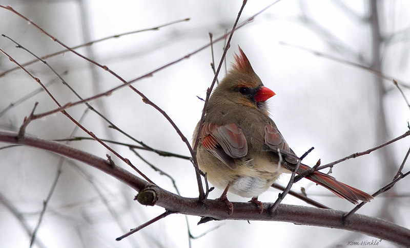 January 27th<br /> <br /> FEMALE CARDINAL<br /> <br /> The weather continues to be cold, gray, dreary and snowing on and off..but her colors were evident even without sun.