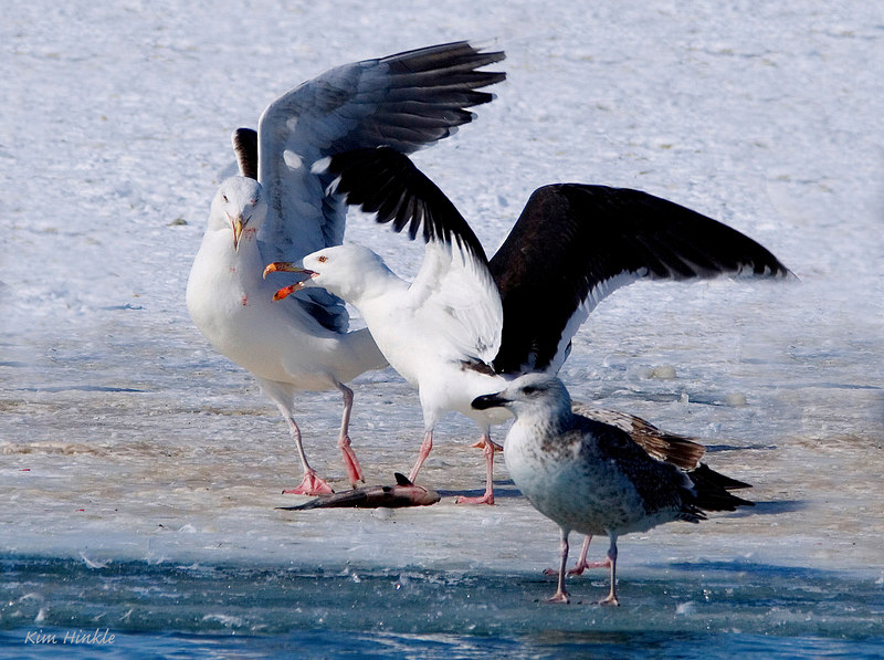 February 20th<br /> <br />  LISTEN BUDDY, THIS HERE FISH IS MINE!!!!!<br /> <br /> Two Greater Black Backed Gulls were having a dispute over whose fish is laying on the ice...judging by the open beak and aggressive stance, I would put my money on the bird on the right ;-)