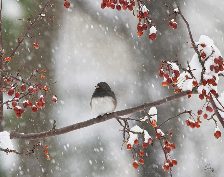 1/20/09<br /> <br /> DARK-EYED JUNCO<br /> <br /> I couldn't decide if I liked this full version or cropped a little closer, the dilemma was cutting off those gorgeous red crabapples..I finally decided to share the  full version of this pretty little bird with all the crabapples framing him.  It was such a gloomy snowy day, so I revved up the colors with a watercolor filter (seen better in the larger mode) to cut down on the noise it created...this might be a future holiday card...  :-)<br /> <br /> Thank you all for your positive comments on yesterday's goldfinch...