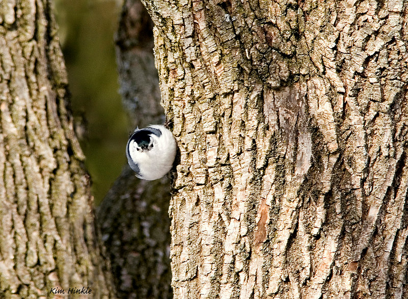 March 9th<br /> <br /> YOU WANT SOMETHIN' LADY?<br /> <br /> Not one of my best, but I liked the trees and the nuthatch looking at the camera. <br /> <br /> I am enjoying the humorous blogs these days on the photos, but is anyone interested in including constructive comments like we used to do?  I learned so much from many of you and I miss the gentle suggestions for improvement... I for one would like to have a nice balance of fun and help....just me...blogging :-)