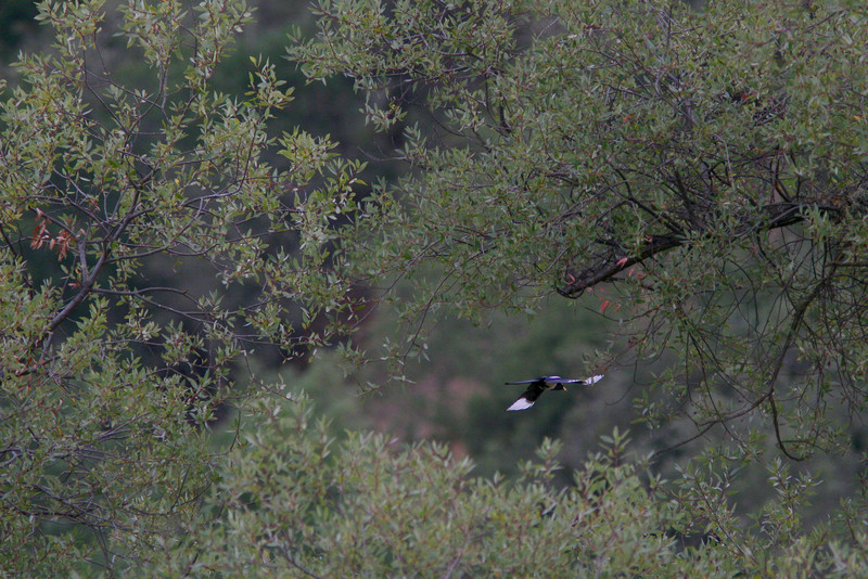 October 25th<br /> <br /> YELLOW BILLED MAGPIE IN FLIGHT<br /> Looks better in large)