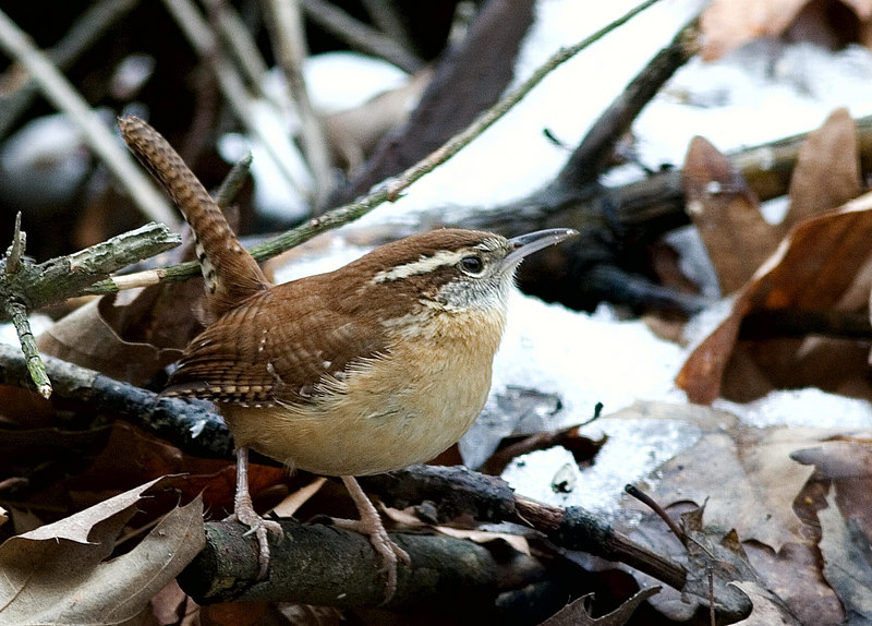 "January 28th<br /> <br /> CAROLINA WREN (PART TWO)<br /> <br /> I photographed a whole series of wrens looking for seeds and bugs through a window at a nature center near here.  I used my 300mm (IS)lens and was delighted to see that I could hand hold it pretty well.  The day was dark and cloudy and the windows were tinted gray, so all and all I was pleased with the pictures. <br /> <br /> Here is the series if you're interested:<br /> <br /> <a href=""http://mom4squirrels.smugmug.com/gallery/2398293/3/126070907#126065556"">http://mom4squirrels.smugmug.com/gallery/2398293/3/126070907#126065556</a><br /> ...Some of the pictures are too centered, I know, but he was hanging out near the bird feeder pole...so what could I do? ;-)"