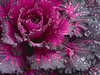 November 12<br /> <br /> ORNAMENTAL KALE