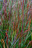 SPLENDER IN THE GRASS 9/28<br /> <br /> I'm not an ornamental grass person, but these caught my eye!  The reds, greens, even lavenders were just breathtakingly beautiful blowing in the wind.  The larger the image, the better they look!
