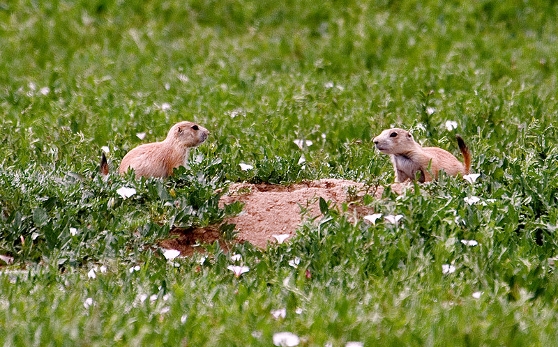 "June 14th<br /> <br /> ON THE COUNT OF THREE.....<br /> <br /> <br /> Another in the ""series"" of prairie dog photos.  These two youngsters seemed to be vying for first dibs on entering the burrow..."