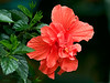 June 20th<br /> <br /> AFTER THE RAIN<br /> <br /> Red Hibiscus after a rain shower...