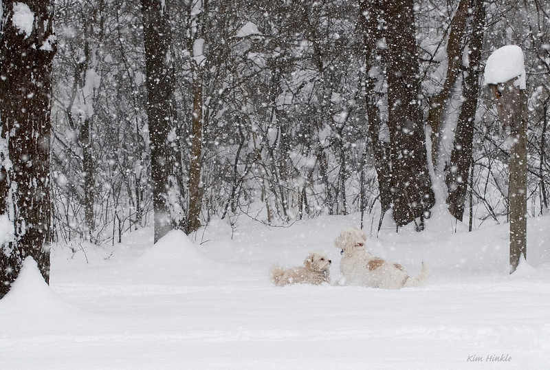 """April 7th<br /> <br /> FUN IN THE DAY BEFORE EASTER SNOW<br /> <br />  Mollie (L) and Wheezer (R) romping in the snow in our backyard this morning.  The snow is up to Mollie's shoulders in places! Would someone please tell Mother Nature that it's supposed to be   """"April RAIN showers""""...and return the snow!!"""