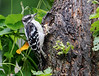 "DOWNY WOODPECKER<br />  Finally started using the burst mode on my XT.  Guess it paid off..at last.  He was banging away at the suet in the hole but stopped occasionally for a look around! I cropped this one a little bit, the original is at  <a href=""http://mom4squirrels.smugmug.com/gallery/1833354/1/92219801"">http://mom4squirrels.smugmug.com/gallery/1833354/1/92219801</a>  Please tell me what you think...too busy with the greens on the left or just right?  I actually like the original better..but wonder what you professionals think.  Thanks"