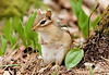 May 29th...Algonquin Provincial Park, Canada<br /> <br /> TAKING A BREAK<br /> <br /> This chipmunk mom took a break from the kids to watch the human with one big eye come closer and closer while making a strange, beep beep noise from time to time. She was pretty fearless as we watched each other .