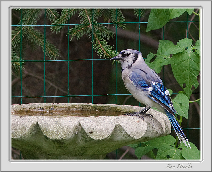 August 8th<br /> <br />  BLUE  JAY<br /> <br /> (I'm so proud of this shot..and two dove shots that I took...they're nice and sharp...AND HAND HELD.  Good Sharpness eludes me on most shots, so I am bragging to my friends here on POD to say..I DID IT..at last  ...lol)