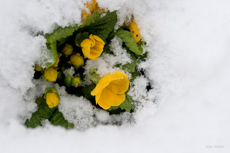 "April 6th<br /> <br /> WHAT A DIFFERENCE A DAY MAKES...<br /> <br /> Here are my beautiful primroses blanketed in snow.  <br /> Here they are two days ago in my garden!  <a href=""http://mom4squirrels.smugmug.com/gallery/2452453#141603806-L-LB"">http://mom4squirrels.smugmug.com/gallery/2452453#141603806-L-LB</a><br /> <br /> Mother Nature is playing a cruel Springtime trick.  Just when the petals were opening...BAM, 3 inches of lake effect snow...and more falling!!  I took other photos of ice encased hiacynths and budding magnolias covered in white flakes...beautiful at times, but ever so sad...our long-awaited spring flowers are being destroyed.  Even sadder is seeing all the robins in the streets looking for food...those that migrated South for the winter are returning to find little to no food because it is buried under the snow.  My Carolina Wrens are eating up my supply of mealworms fed daily...now a pregnant robin has discovered the secret garden of plenty and  patiently waits with her new feathered friends for a survival handout.  (This weather is supposed to continue into next week!!)"