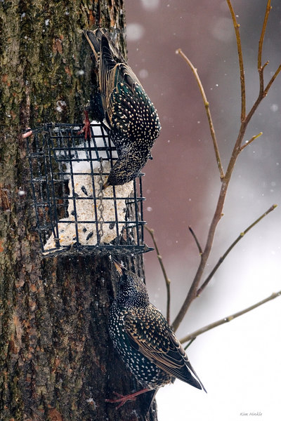 "January 30th<br /> <br /> STARVING STARLINGS STEALING SUET ;-)<br /> <br /> I never realized that starlings have green feathers mixed in under those white dots (This is one of those pics where the bigger it is the better it becomes).  A small flock arrived for about 3 minutes, grabbed some suet and flew off into the blizzard. <br /> Here is another shot where the lower starling uses his tail for balance:<br /> <a href=""http://mom4squirrels.smugmug.com/gallery/2398293#126504144"">http://mom4squirrels.smugmug.com/gallery/2398293#126504144</a><br /> <br /> BRAG MOMENT:  Remember my sunrise cloud photo from January 4th?<br /> <a href=""http://mom4squirrels.smugmug.com/gallery/1833354#120978427"">http://mom4squirrels.smugmug.com/gallery/1833354#120978427</a><br /> Well, I submitted it to our local weather station for their photo spot and got chosen!  It appeared January 30th on the AM weather show!!"