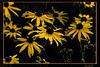 "August 24th<br /> <br /> RUDBECKIA (BLACK-EYED SUSAN)<br /> <br /> Just playing around with filters today.  This was done with the Ink Outline filter.  The original is here if you want to see the ""before"" image"":<br /> <a href=""http://mom4squirrels.smugmug.com/gallery/2452453_zuNLx#357685824_6XuUU"">http://mom4squirrels.smugmug.com/gallery/2452453_zuNLx#357685824_6XuUU</a>"