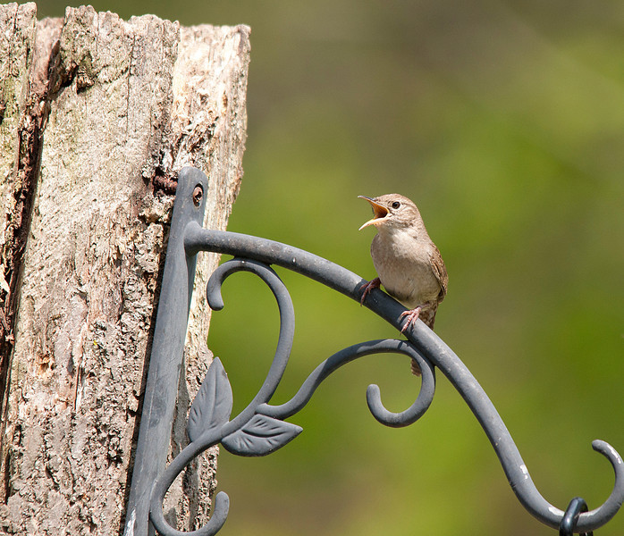 """HOUSE WREN SINGING FOR HIS MATE<br /> <br /> We were fortunate to have this wren find a mate and raise two clutches of babies..in two different houses on our patio.  He sang and sang for at least two weeks until his """" bride"""" was chosen.<br /> July 2012"""