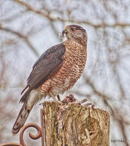 COOPER'S HAWK <br /> <br /> (Outside my kitchen window this morning was a Cooper's Hawk having his breakfast . Upon further inspection after he left, his meal consisted of a Tufted Titmouse, mine was toast and coffee.)