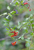 August 17th<br /> <br /> DEADLY NIGHTSHADE<br /> <br /> This beautiful looking vine with appealing red berries is poisonous to all who would eat them...except the birds.  I just loved the shape of the vine, the green and purple leaves and the bright red berries to set them all off