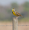 "2/13/09<br /> <br /> EASTERN MEADOWLARK<br /> <br /> Let me begin by thanking you all for all the warm compliments on my photos the last several days.  I have tried to  comment on some of yours as well, but slow internet and busy vacation days make it hard to get to everyone right now.<br /> <br /> This is my first ever photo of a meadowlark.  They are so skiddish at times that you can't get close enough to capture the image.  I have several photos of him singing which I hope to share later .  Picture this...this is how I captured this image.  We're riding down a dusty, Florida back road in the ""country"" and there he is down the way on a fence post.   I open my door and we crawl slowly towards the gorgeous guy.  Bob stops the car at a reasonable distance and I prop my lens between the door frame and the car frame just above the hinge (more-less)...what a great image stabilitzer (lol) and a good blind too , it seems.  I'm happy...isn't he a beauty?<br /> HAVE A GREAT WEEKEND...AND MANY THANKS AGAIN FOR STOPPING BY ALL THESE DAYS..."