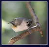 """August 21st<br /> <br /> """"HELL-OO...GOT SOME SEED IN THERE?""""<br /> <br /> Little Tufted Titmouse peering in the kitchen window.  Seems that the humans are quite interesting for many of our backyard wildlife!  lol"""