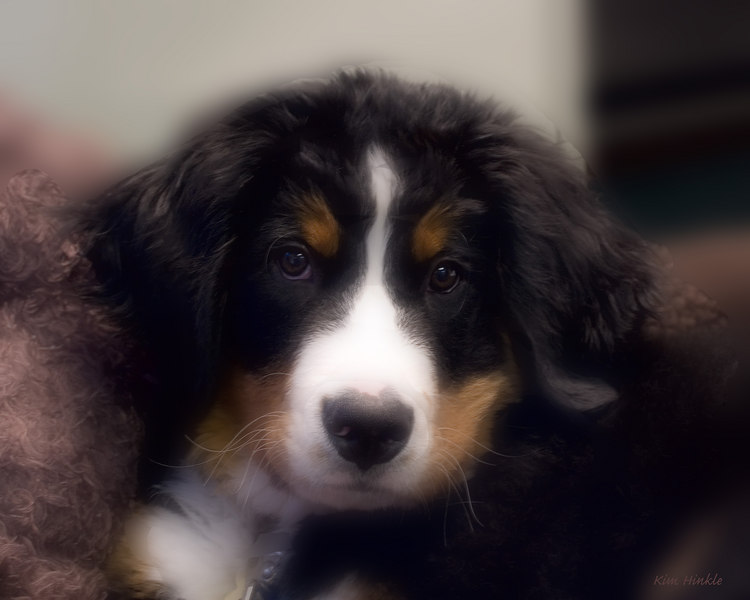 "February 17th<br /> <br /> LIZ'S NEW PUP...SONNY<br /> <br /> This is the cutest puppy ..16weeks old..named Sonny.  He is a Bernese Mountain Dog.  When full grown, Liz said he will weigh over 100 pounds!  Judging by the size of his paws, I can well imagine he will!.  He's soft as can be and only wants to lick your face, so I've caught him here, in a moment of ""relaxation"" for a dreamy-look GLAMOUR portrait.<br /> Here's Sonny's ""typical"" style portrait:<br /> <a href=""http://mom4squirrels.smugmug.com/gallery/2481328#130182353"">http://mom4squirrels.smugmug.com/gallery/2481328#130182353</a><br /> (I took these in cramped space on the floor of the office where he was spending the day with ""mom"".)"