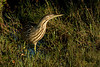December 10 2008<br /> <br /> <br /> AMERICAN BITTERN<br /> <br /> Photographed at Merritt Island about an hour before sunset, we were able to capture some great views of this very secretive and rarely seen marsh bird!  He was busy watching the water below for small fish and seemed uninterested in the humans who were standing on the dike slightly above him snapping pictures right and left to document this exciting moment!