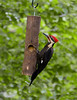 May 29, 2009<br /> <br />  SURPRISE VISITOR......PILEATED WOODPECKER<br /> <br /> Thank you everyone for your compliments on yesterday's dogwood photo.  It's exciting to share a photo that I really like with photographers who know the elements it takes to make a good image and then read your comments on it.  There are good days and good shots and then there are the ones when you wonder why you have all this expensive equipment and can't hit the side of a barn clearly :-) That was a GREAT day!<br /> <br /> This very dirty male Pileated Woodpecker has been coming by in the past few weeks here and there to eat the homemade suet mix that I put in the feeder.  Though there is some green cast that I don't seem to be able to remove, his white feathers are dirty from caring for his family while he gathers food to feed them .  He appears usually in the early morning and at dusk...sometimes.  He is very skiddish, so I can't get close.  This is a big crop from across the yard (sharper larger of course)...through the kitchen window!  It was taken at 7 PM at 1/100th...hand held...Yippee.  Not too bad for being so far away and so dark....but you know me...I'll be trying to figure out a way to get one that is much sharper...and closer.  Beginning with purchasing an 80-400 lens (I used Bob's 70-300...and it is great...but I want more distance ...lol)<br /> <br /> PS: I WON'T BE ABLE TO POST THIS WEEKEND BECAUSE WE'RE GOING TO MICHIGAN...AND DIAL UP INTERNET.  I'LL BE BACK MONDAY...Have a great weekend!