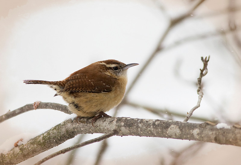 2/1/09<br /> <br /> JENNY WREN<br /> <br /> Sometimes people call Carolina Wrens, Jenny Wrens, so I gave this little bird a name today.<br /> This image is from the other day...I post processed an image in my trial of Lightroom and lost it somewhere...so this is a substitute.