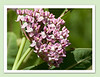 July 8th<br /> <br /> MILKWEED WITH A SURPRISE<br /> <br /> Have you ever smelled milkweed?  It is like perfume  to the nose.  The flowers are pink and waxy and just a sphere of fragrant color!  So...I decided to photograph some...and much to my amazement, when I enlarged the photo, I found that  I had also captured a tiny monarch butterfly caterpillar inside munching away. :-)<br /> My friends and I had been in search of the little guys on other  milkweed plants, but I never expected to see one in a flower...oh happy day...another monarch butterfly will be floating by soon!<br /> <br /> PLEASE ENLARGE TO XL TO GET A CRISPER VIEW OF THE LITTLE CATERPILLAR ..