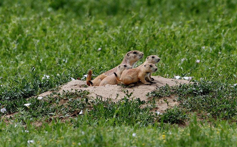 June 5th<br /> <br /> PRAIRIE DOG FAMILY<br /> <br /> Our first stop in our trip to Denver was at this field along the road on the way to the hotel.  We had seen the prairie dog mounds from the airplane while on the approach to the Denver Airport, and then saw and heard the barking little guys in town.  I hwanted to post this even though I had to download it as a Jpeg...will use photoshop  on the rest when I return home....the ones with black tails are babies I am told.  I took 47 photos of the pds...one was cuter than the next.<br /> Today was the last of the free time...Wedding guests coming in tomorrow...see ya next week...