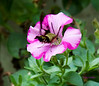 July 22<br /> <br /> THE PAUSE THAT REFRESHES<br /> <br /> This is a big crop..on a very small hummingbird moth getting nectar from my petunias!  Now if only the REAL hummingbirds would like it as well....<br /> Thanks for all the nice comments about Wheezer yesterday...she's very dear to my heart.  It is always nice to share her with you all.