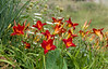 July 25th<br /> <br /> DAY LILIES