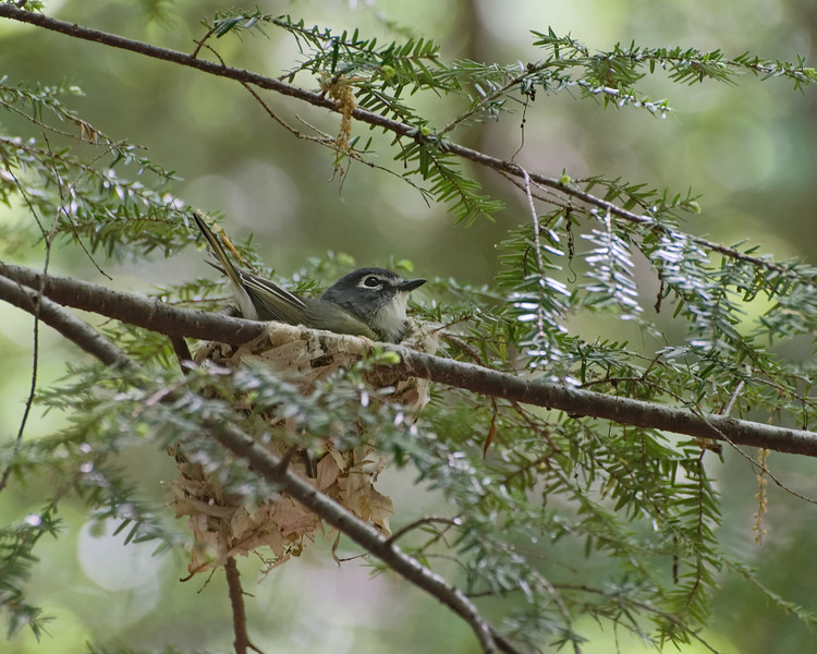 Blue-Headed Vireo<br /> <br /> Sharper in larger image,  I was so happy to get this shot in low light...hand held.