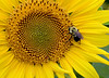 July 12th<br /> <br /> THE SUNFLOWER AND THE BEE