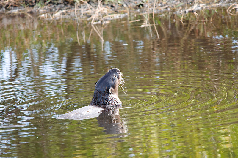 River Otter enjoying the last of a fish he caught