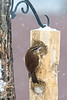 "1/9/09<br /> <br /> CAROLINA WREN<br /> <br /> I feed a pair of wrens mealworms daily ( I order them by the 5,000!) on my patio...little did I know that they would come to the suet feeder! (homemade recipe)<br /> I couldn't resist using a poster filter on this one...the original is great too...but not as much pop to it.  This was a hand held shot through the kitchen window...  what's that about window glass filters?  LOL  Of course I had already taken about a hundred shots, closed the window (brrr)  and turned around only to see the wren picking at the suet.  Such is the life of a nature photographer...the good stuff comes after you pack up to leave!<br /> <br /> Kurt..there are more...I am still working on them.  I decided I wasn't happy with the focus on the first one I pp in the fir tree...<br /> <br /> <br /> Here is the suet recipe that I use.  <br /> <br /> <br /> MARVEL MEAL<br /> <br /> 1 cup crunchy peanut butter (I use extra crunchy)<br /> 1 cup vegetable shortening ( a blend of lard and vegetable shortening is good too)<br /> 2 cups yellow corn meal<br /> 3/4 cup of flour<br /> 1/3 cup granulated sugar (optional..I don't add it due to the sugar in the peanutbutter)<br /> 2 cups quick oats<br /> <br /> Melt shortening in a sauce pan. Remove from the heat and add peanut butter. Stir.  Place all dry ingredients in a bowl.  Add the melted mixture to the bowl and stir with a spoon until cool enough to handle. Continue to combine the ingredients with your hands until completely blended.  Then pack the mixture into the holes on the feeder.  Store remaining mix in the refrigerator.<br /> Note:  The meal will ""harden"" as it cools, but should not be dry & crumbly or gooey after mixed.  Add more wet or dry ingredients to adjust the texture if needed. <br /> <br />                                           .....Kim"
